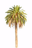 Tall green palm Royalty Free Stock Photography