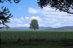 Tall Green Tree in Middle of Corn Field Stock Photo