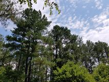 Tall green trees and cloudy sky Stock Photos