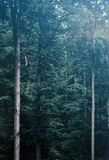 Tall green trees in a foggy gloomy forest. royalty free stock photo