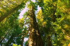 Tall green Trees. Royalty Free Stock Photos