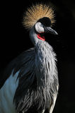 Tall Grey Crowned Crane Stock Photography