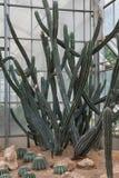 Tall group cactus Stock Photos