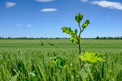 , tall growing weed seen in a large field of early crop wheat. The weed can be seen taller than the surrounding crop and the sky bing almost clear in this rural Royalty Free Stock Images