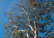 Tall gum tree. Looking up into tall gum tree Stock Photos