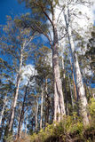 Tall gum trees. Looking up into very tall gum trees Stock Photos