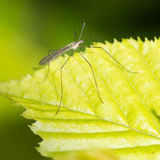 The Tall Guy. A long legged fly on a green leaf Stock Image