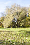 Tall and half bare tree in autumn Stock Photography
