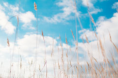 Tall hay and cloudscape Royalty Free Stock Photography
