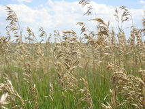 Tall hay seeds. A picture of Wyoming tall hay grass turning a tan golden color Royalty Free Stock Photography