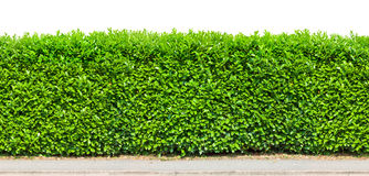 Tall hedge isolated Stock Photos