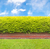 Tall Hedge With Part Of The Brick Wall Stock Image