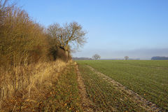 Tall hedgerow and wheat Stock Images