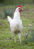 Tall hen Royalty Free Stock Photography
