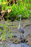 Tall Heron Bird Stock Photos