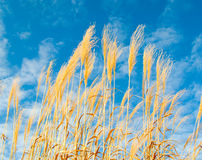 Tall Hoosier grass. Tall indigenous golden Indiana prairie grass blows in the winter winds. Highlighted by wispy clouds and blue sky royalty free stock photography
