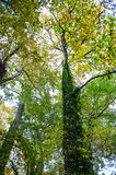 Tall Ivy. Looking up at green ivy on tall trees during Autumn in Central New Jersey Royalty Free Stock Photos