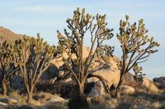 Tall Joshua trees Royalty Free Stock Photo