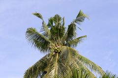 Tall jungle palm tree top royalty free stock photography
