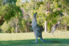 Tall kangaroos Stock Photography