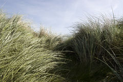 Tall kerry dune grass. Tall dune grass on the coast of Kerry Ireland gently blowing in the breeze Royalty Free Stock Photography