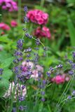 Tall lavender flower stems rise amid a sumptuous summer flower garden. Tall French lavender flower stems rise amid a sumptuous summer flower garden, seeming to Royalty Free Stock Photos