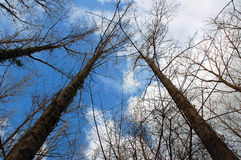 Tall leafless trees. Leafless trees on blue and cloudy sky stock photo