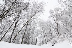 Tall leafless trees in winter Stock Photos