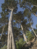 Tall Leaning Trees Royalty Free Stock Images