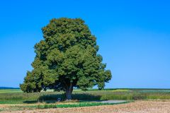 Tall lime tree in the landscape. In summer royalty free stock image