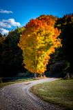 Lone Autumn Tree on Edge of Walking Path. Tall lone autumn tree with gold, orange and red leaves stands on the edge of a walking path Stock Photography
