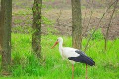 Bird stork with long red beak walks between trees. Tall long-legged bird stork with long red beak walks between trees Royalty Free Stock Image