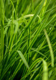 Tall Lush Grass Background Stock Images