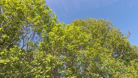 Tall lush green birch trees swaying in light summer breeze stock footage
