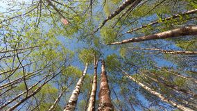 Tall lush green birch trees swaying in light summer breeze stock video