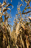 Tall maize plants Stock Image