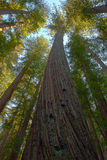 Tall majestic redwood trees giants of California. California's ancient and tall redwood trees, Montgomery Woods State Park, California royalty free stock photography