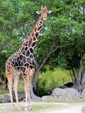 Tall male giraffe. Tall and dark giraffe, and an ostrich in the background, standing on the ground of a South Florida zoo Stock Photos