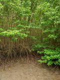 Tall mangrove trees on at coastal wetlands, Chanthaburi, Thailand. Wide angle aerial view of a cluster of tall mangrove trees on the coastal wetlands. Vertical royalty free stock photography