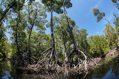 Tall Mangrove Trees and Roots Royalty Free Stock Photos