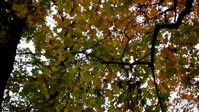 Tall maple trees and its branches autumn park. Tall maple trees and its branches that has orange to yellow maple leaves found on its branches stock video footage