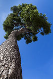 Tall maritime pine Stock Image