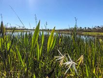 Tall marsh grass. Tall reeds and swamp lilies on the river shore royalty free stock image