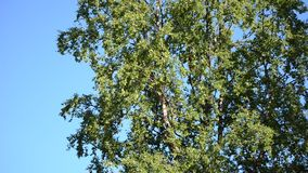 Tall mighty birch tree with small birds inhabiting it in bright warming summer sunshine on blue sky backdrop. Northern norway stock video footage