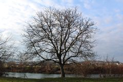 Tall mighty tree without leaves on river bank during winter. Tall mighty tree completely without leaves on river bank covered with green grass during cold winter Stock Image