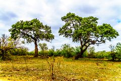 Tall Mopane Trees near Letaba Camp in Kruger National Park Royalty Free Stock Photography