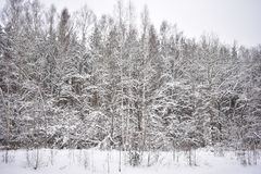 Tall, motionless, sleeping pines. The bluish shadows of their slender trunks lie on white untouched snowdrifts. Sleep quietly in the winter forest, but his royalty free stock images