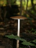 Tall Mushroom Royalty Free Stock Photo