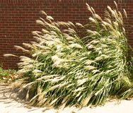 Tall Nebraska Grass. A section of a border of tall grasses stock image