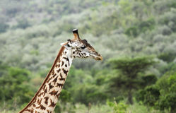 Tall neck Giraffe Stock Images